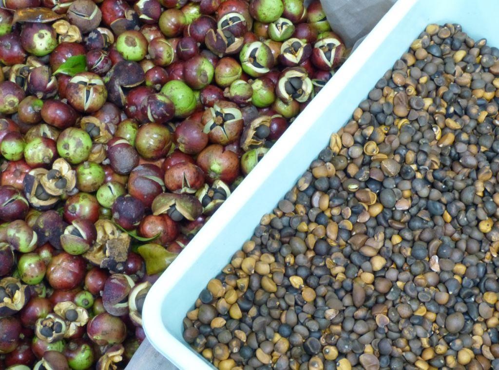 seed camellia oil harvest